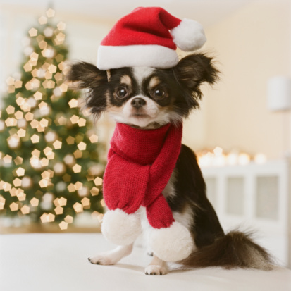 Santa Hat「Long Haired Chihuahua with Santa hat and scarf, close-up」:スマホ壁紙(1)