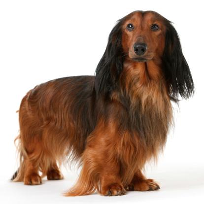 Dachshund「long haired badger dog」:スマホ壁紙(19)