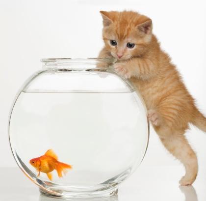 Kitten「Kitten trying to get at a goldfish」:スマホ壁紙(12)