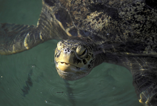 Green Turtle「CLOSEUP OF GREEN TURTLE, CHELONIA MYDAS, SWIMMING. DISTRIBUTION TROPICAL OCEANS WORLDWIDE」:スマホ壁紙(6)