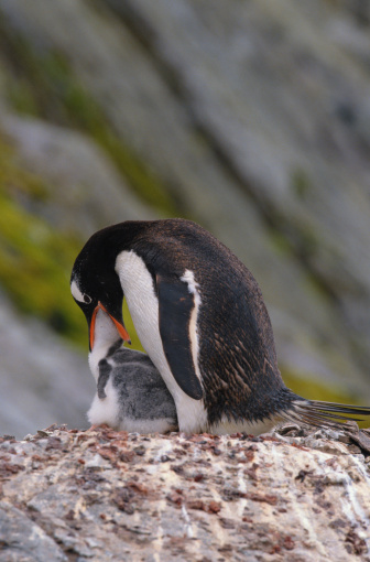 Animal「GENTOO PENGUIN WITH CHICK IN ANTARCTICA」:スマホ壁紙(8)