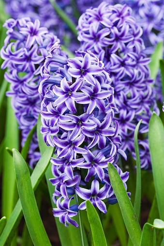 Keukenhof Gardens「KEUKENHOF GARDENS, NETHERLANDS: HYACINTH 'BLUE JACKET'」:スマホ壁紙(18)