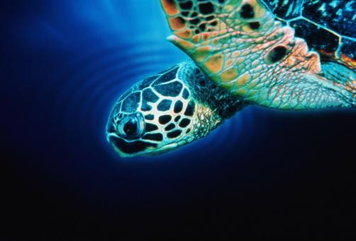 Green Turtle「HAWAIIAN GREEN SEA TURTLE」:スマホ壁紙(18)
