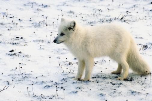 Arctic Fox「23872559」:スマホ壁紙(14)