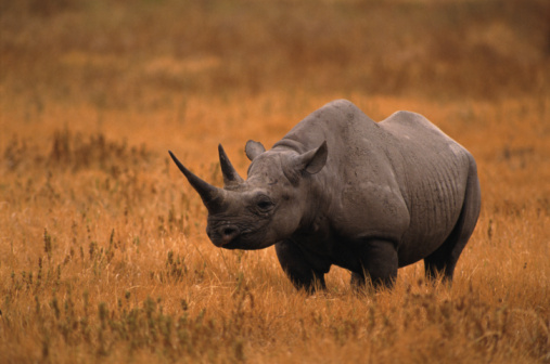 Rhinoceros「BLACK RHINOCEROUS IN OPEN FIELD」:スマホ壁紙(14)