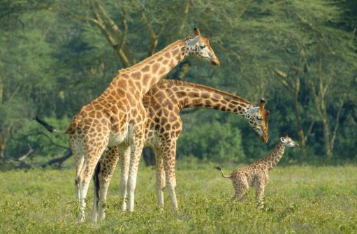 Giraffe「ROTHSCHILDS GIRAFFES AT NAKURU NATIONAL PARK IN KENYA」:スマホ壁紙(10)
