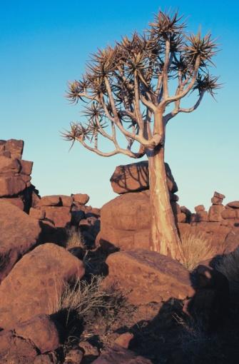 African Aloe「23899400」:スマホ壁紙(8)