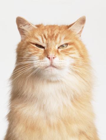 Cat「ORANGE CAT SQUINTING」:スマホ壁紙(9)