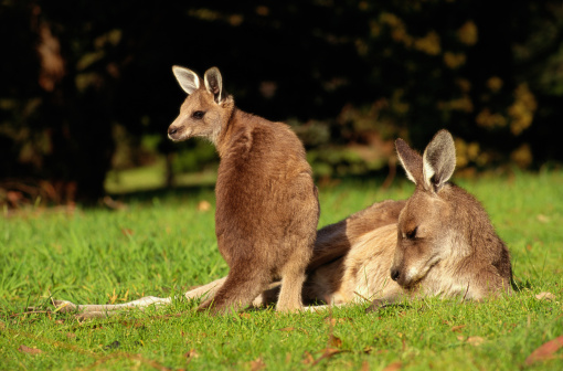 Kangaroo「KANGAROO AND JOEY IN VICTORIA, AUSTRALIA」:スマホ壁紙(10)