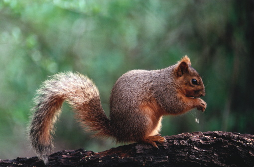 Squirrel「SQUIRREL ON TREE LIMB EATING A NUT」:スマホ壁紙(1)