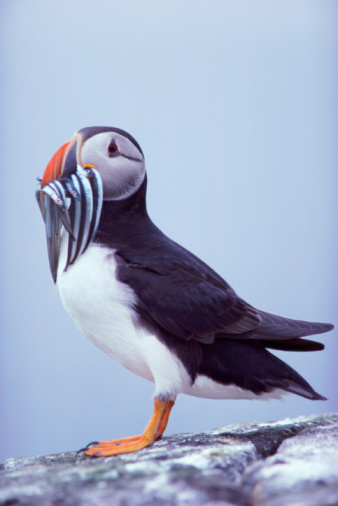 背景「ATLANTIC PUFFIN WITH SAND EELS」:スマホ壁紙(18)