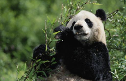 パンダ「GIANT PANDA AT WOLONG PANDA RESERVE」:スマホ壁紙(0)