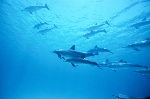 イルカ「SPINNER DOLPHINS RED SEA, EGYPT」:スマホ壁紙(12)
