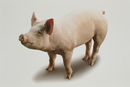 Pig「HAPPY PIG」:スマホ壁紙(19)