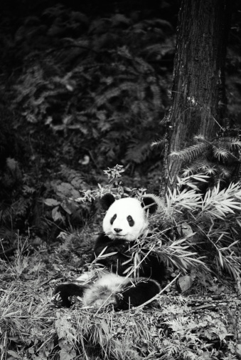 パンダ「PANDA EATING BAMBOO WOLONG VALLEY, SICHUAN, CHINA」:スマホ壁紙(3)
