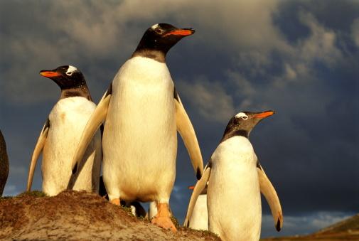 Falkland Islands「GENTOO PENGUINS, AT SUNSET」:スマホ壁紙(8)