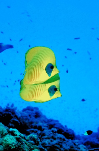 Butterflyfish「23898117」:スマホ壁紙(5)