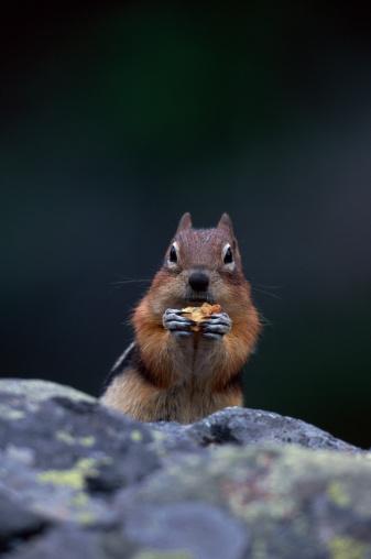 Squirrel「GOLDEN MANTLED SQUIRREL EATING」:スマホ壁紙(10)