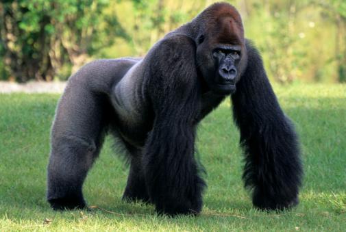 Gorilla「SILVERBACK LOWLAND GORILLA. MIAMI ZOO, FLORIDA」:スマホ壁紙(4)