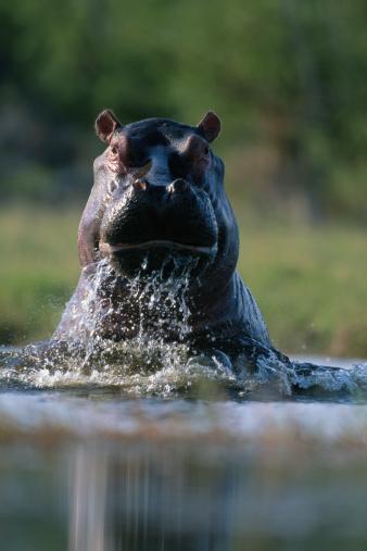 Hippopotamus「ANGRY HIPPOPOTAMUS (HIPPOPOTAMUS AMPHIBIUS), IN KHWAI RIVER, AFRICA」:スマホ壁紙(18)