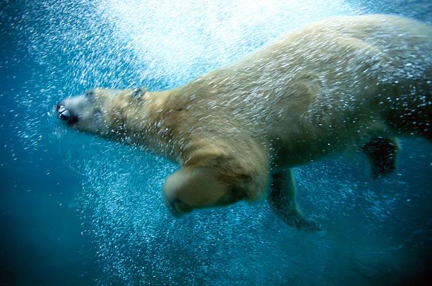 POLAR BEAR (URSUS MARITIMUS) SWIMMING:スマホ壁紙(壁紙.com)