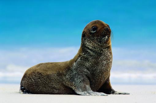 Sea Lion「GALAPAGOS SEA LION (ZALOPHUS CALIFORNIANUS WOLLEBAEKI)」:スマホ壁紙(15)