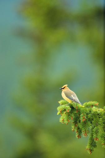 Cedar Waxwing「CEDAR WAXWING IN SPRUCE TREE IN CANADA」:スマホ壁紙(6)