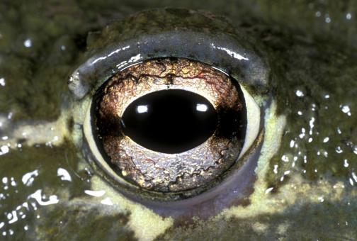 Iris - Eye「GIANT BULLFROG, PYXICEPHALUS ADSPERSUS, CLOSEUP OF EYES. SOUTHERN AFRICA」:スマホ壁紙(8)