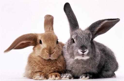 Rabbit「BROWN AND GRAY BUNNIES」:スマホ壁紙(2)