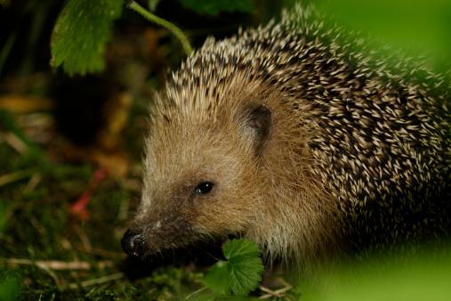 Hedgehog「-」:スマホ壁紙(17)