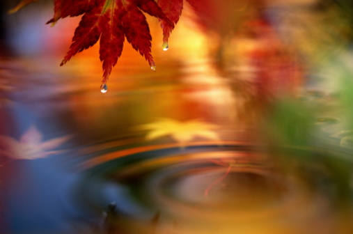 Japanese Maple「JAPANESE MAPLE LEAVES AND WATER POOL」:スマホ壁紙(2)
