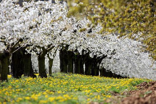 Cherry Blossom「FLOWERING CHERRY TREES」:スマホ壁紙(10)