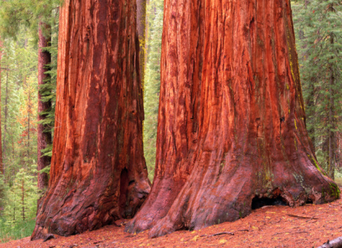 Durability「SEQUOIA TREES, YOSEMITE NATIONAL PARK, CALIFORNIA, USA」:スマホ壁紙(9)