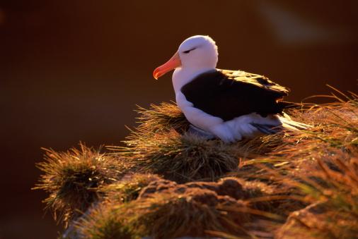 Falkland Islands「ALBATROSS AT NEST FALKLAND ISLANDS」:スマホ壁紙(7)