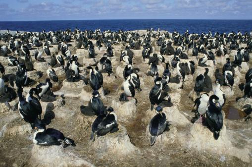 Falkland Islands「KING CORMORANT COLONY IN THE FALKLAND ISLANDS」:スマホ壁紙(14)