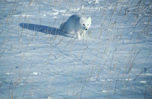 Arctic Fox「23939090」:スマホ壁紙(15)