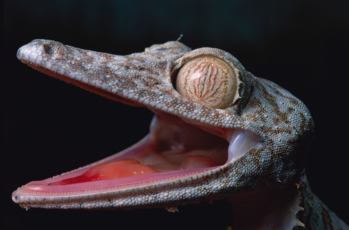 Ugliness「LEAF TAILED GECKO  WITH MOUTH OPEN」:スマホ壁紙(7)