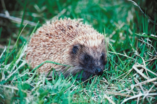 Hedgehog「23901403」:スマホ壁紙(7)