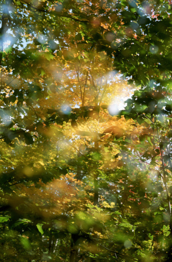 Composite Image「MAPLE TREES IN NORTHERN MAINE」:スマホ壁紙(9)