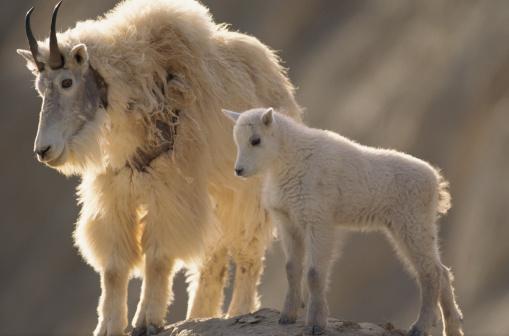 Nanny Goat「MOUNTAIN GOAT WIRTH KID AT JASPER NATIONAL PARK IN CANADA」:スマホ壁紙(19)