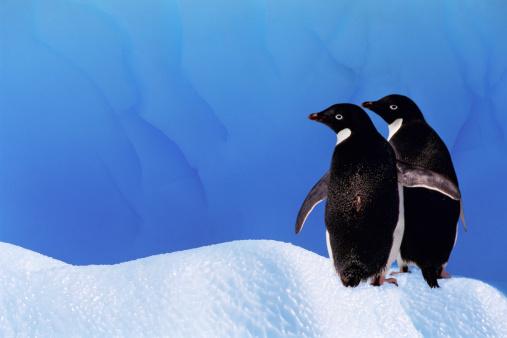 Sub-Antarctic Islands「ADELIE PENGUINS ON ICEBERG, ANTARCTICA」:スマホ壁紙(7)