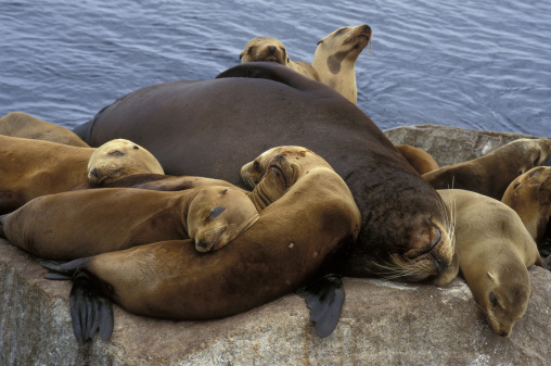 Sea Lion「CALIFORNIA SEA LIONS. BULL AND YOUNG SLEEPING. COAST GUARD PIER. MONTEREY. CALIFORNIA.」:スマホ壁紙(13)