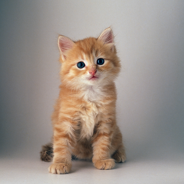 動物「Ginger cat puppy」:写真・画像(5)[壁紙.com]