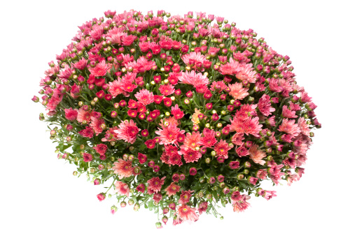 Floral Pattern「red chrysanthemum, spring time flower beauty in nature」:スマホ壁紙(18)