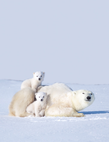 Manitoba「MOTHER POLAR BEAR WITH CUBS, CANADA」:スマホ壁紙(14)