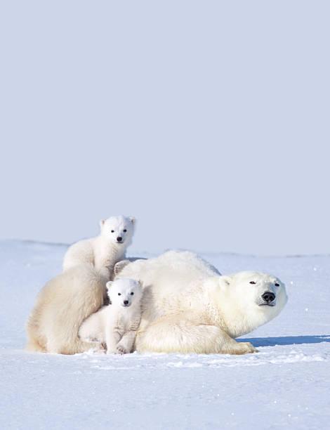 MOTHER POLAR BEAR WITH CUBS, CANADA:スマホ壁紙(壁紙.com)