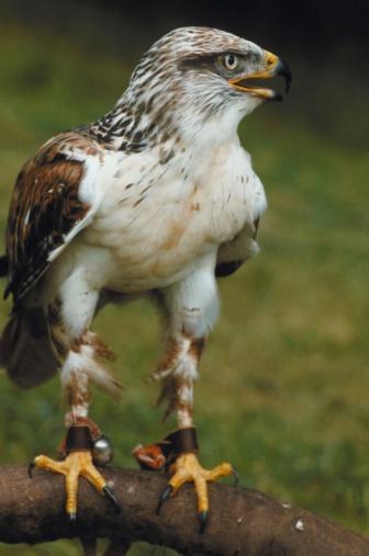 Hawk - Bird「23899070」:スマホ壁紙(7)
