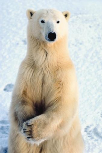 Polar Bear「23872547」:スマホ壁紙(2)