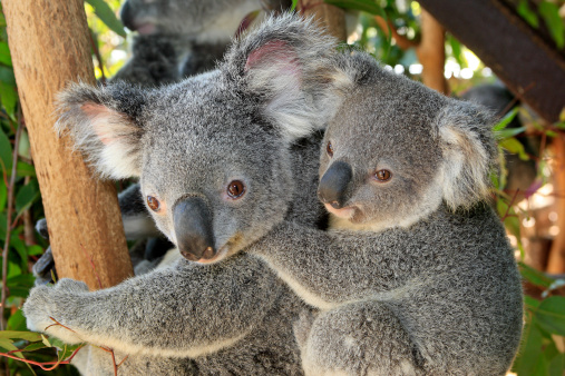Koala「KOALA」:スマホ壁紙(12)