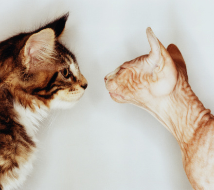 Ugliness「MAINE COON & SPHINX CATS FACE TO FACE」:スマホ壁紙(6)